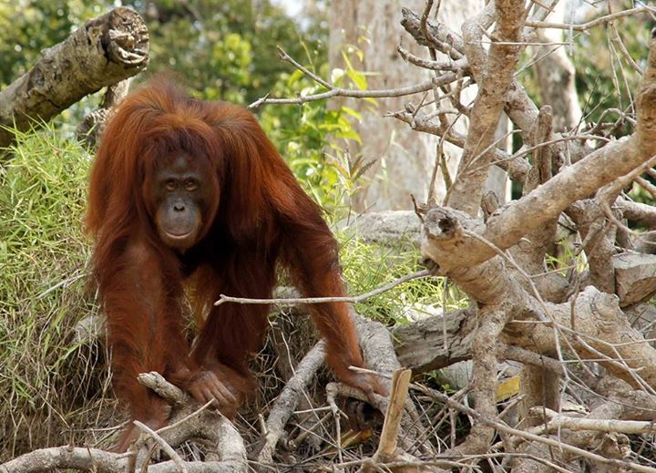 Barito Wild Orangutan Adventure