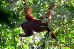 orangutan kutai national park