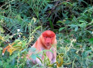 proboscis monkey, Borneo Jungle Trekking