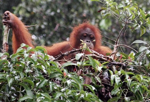 Discover South Borneo Wild Orangutan