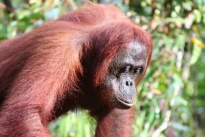 Orangutan Borneo in Tanjung Puting National Park