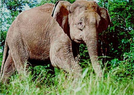 Borneo Pygmy Elephant Trekking