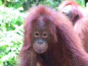 Orangutang Borneo