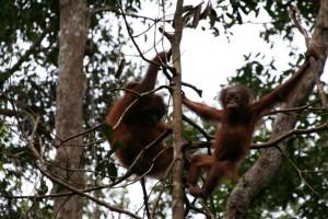 Orangutan Borneo, explore orangutan