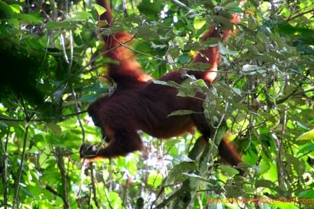 orangutan kutai national park