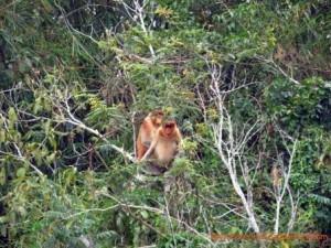 proboscis monkeys, Borneo Island