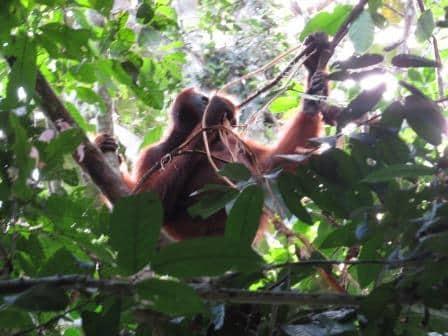 Orangutan Pongo Pygmaeus Wurmbii