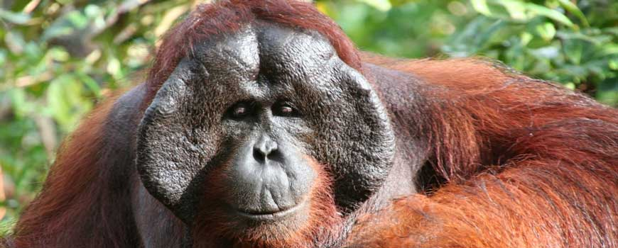 Camp Leakey Orangutan & Wildlife Adventure I