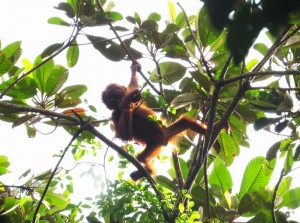 orangutan sabangau national park