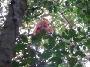 wild orangutan in sebangau national park