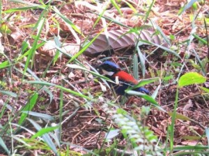 blue headed pitta