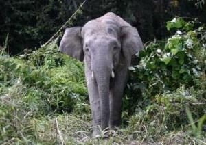 borneo elephants