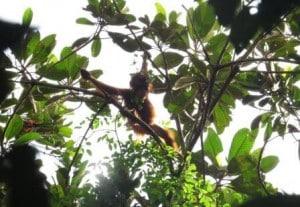 orangutan sebangau