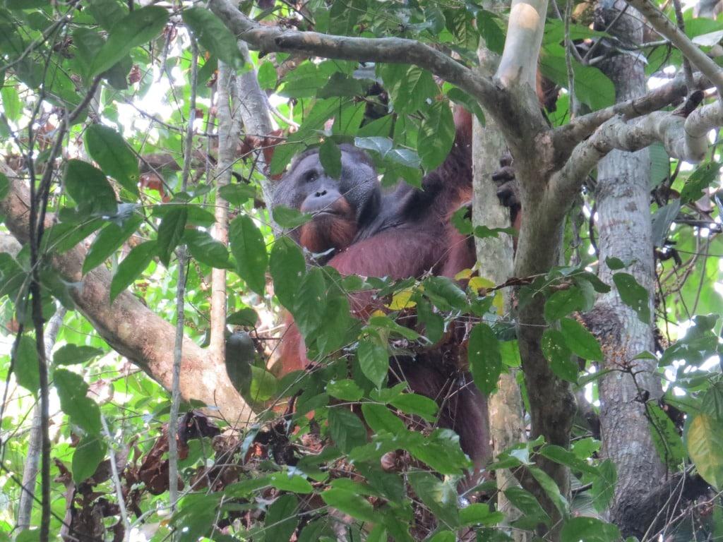 borneo wild orangutan in Wildlife orangutan tours