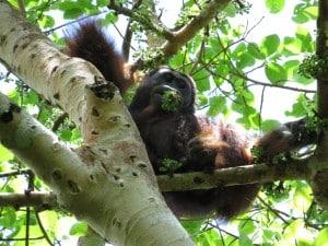 wild orangutan tour